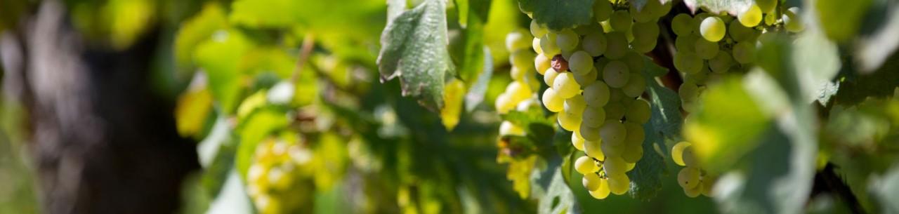 Notre Bourgogne blanc Chardonnay